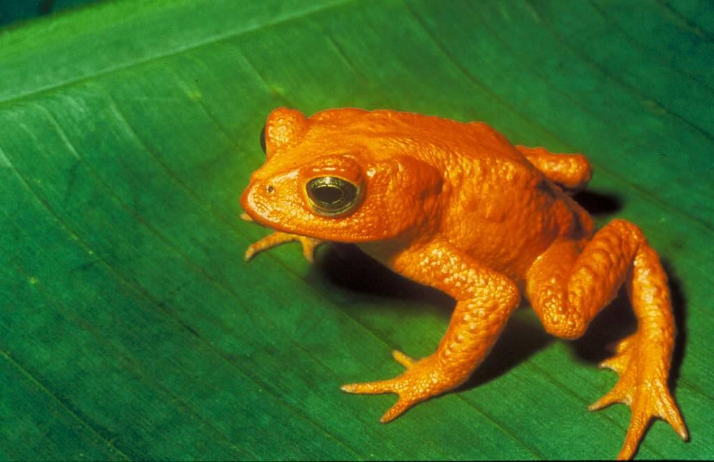 The golden toad once numbered more than 1,500, but the species died off entirely within two years of a bitter El Nino.