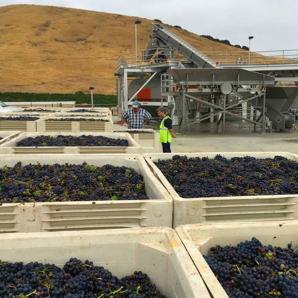 Mike Crumly, left, Gloria Ferrer Caves & Vineyards vice president of production, and Steven Urberg, director of winemaking, inspect some of the first winegrapes picked in the North Coast for the 2017 season, pinot noir grapes from Los Carneros appellation in Sonoma County on Aug. 7, 2017. (Gloria Ferrer Caves & Vineyards)