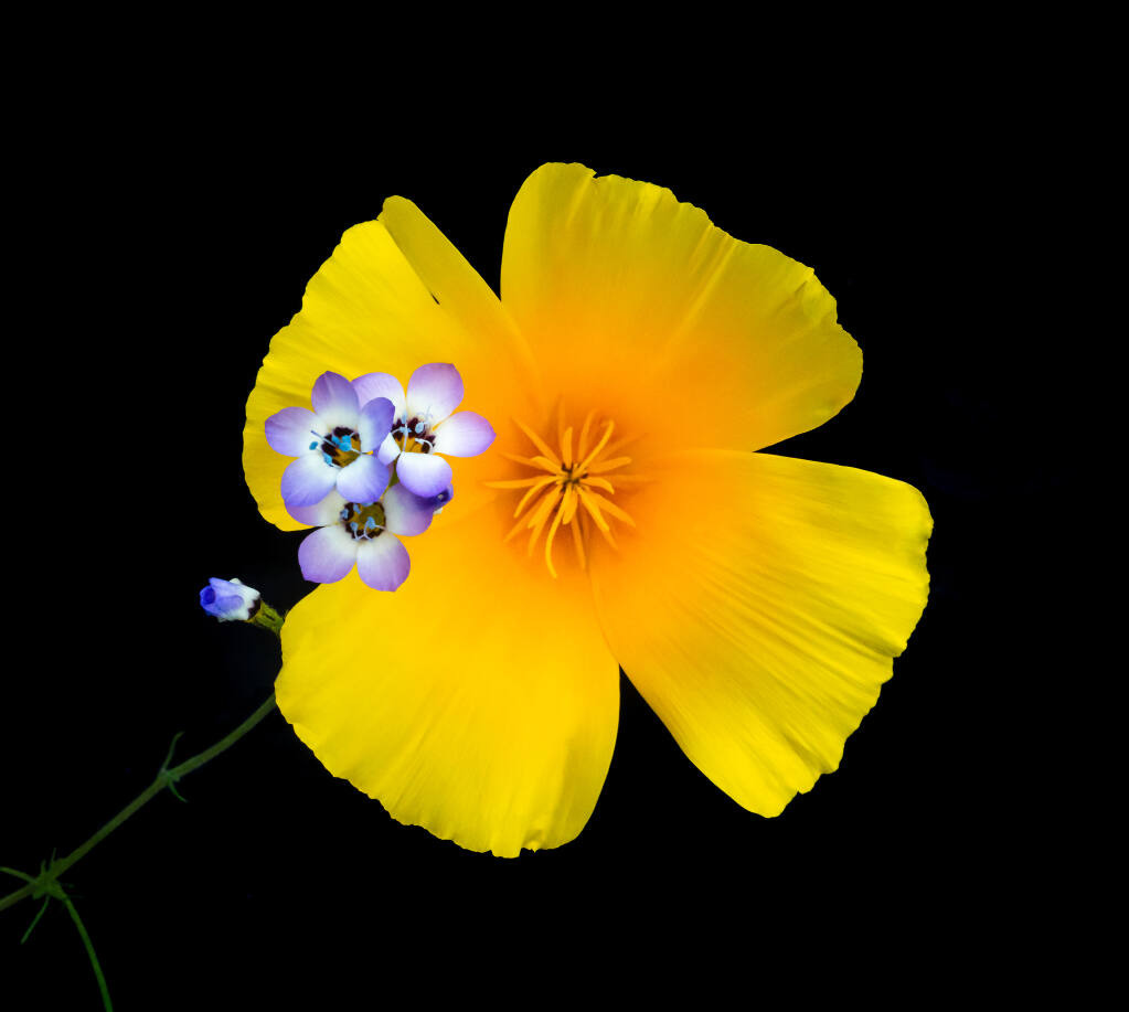 California Poppy and Gila, wildflowers, Black background, Pepperwood Preserve, Sonoma County, California, USA. (Rob Badger) File #_DSC0866Part of Traveling exhibit and/or coffee table book:Beauty and The Beast: California Wildflowers and Climate Change by Rob Badger and Nita Winter© The Winter Badger Press co-published CNPS California Native Plant SocietyAuthors: Peter Raven, Jose Gonzalez, Wendy Tokuda, Kenna Kuhn, Kitty Connolly, Erin Schrode, Dr. Margaret Leinen, Will Rogers, Gordon Leppig, Susan Tweit, Mary Ellen Hannibal, Genevieve Arnold, Ryan Burnett, Doug Tallamy, Ileene Andersen, Robin Wall Kimmerer, Amber Pairis