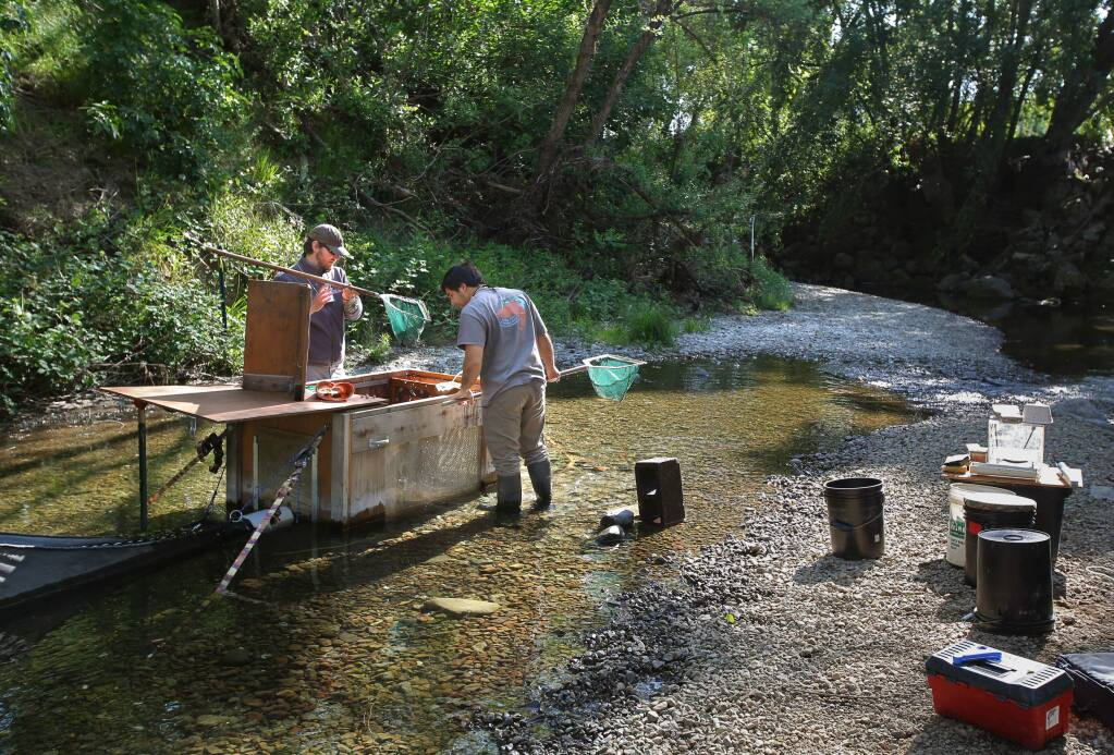 Fisheries biologist Nick Bauer, left, and lab technician Will Boucher, both with the University of California Cooperative Extension California Sea Grant, remove Coho Salmon smolt from a fish trap for data collection along Mill Creek, near Healdsburg on Tuesday, April 14, 2015. (Christopher Chung / The Press Democrat)