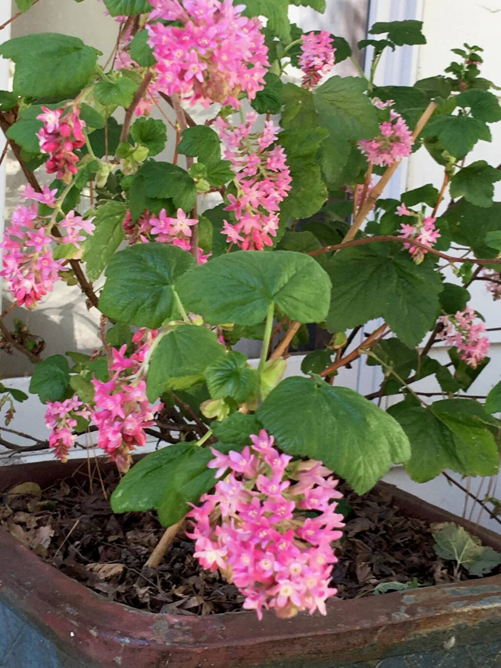 For bright color in winter try this January through March blooming Ribes sangineum var.  (UC ANR)