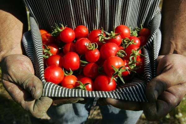 If you have a cherry tomato plant in your garden, you know it's now producing an abundance of tomatoes, which you can roast or add to salad. (John Burgess/ The Press Democrat)