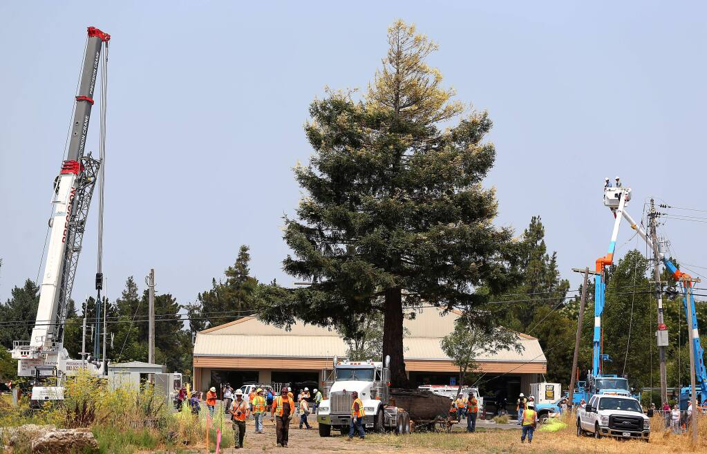 A flatbed truck carries a rare chimera coast redwood tree to its new home, after it was lifted from its location along the SMART tracks near East Cotati Avenue on Thursday, Aug. 7, 2014. (CHRISTOPHER CHUNG/ PD FILE)