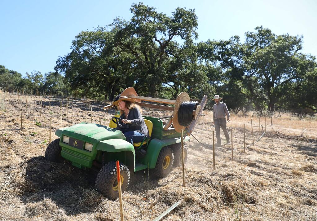 Ancient Oak Cellars owners Melissa and Ken Moholt-Siebert work on installing new irrigation drip lines in their vineyard in Santa Rosa on Wednesday, July 24, 2019. The couple lost 15 acres of vineyard in the Tubbs fire.(Christopher Chung/ The Press Democrat)