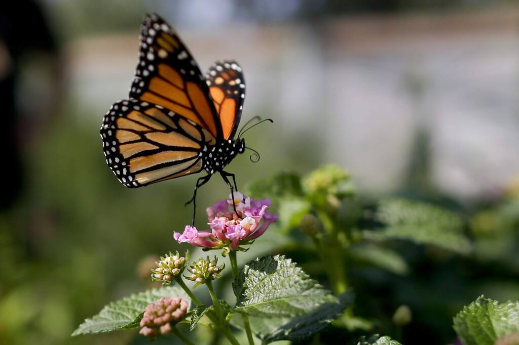 A monarch butterfly in Vista. The western monarch butterfly population wintering along California's coast is critically low. (Gregory Bull / Associated Press)