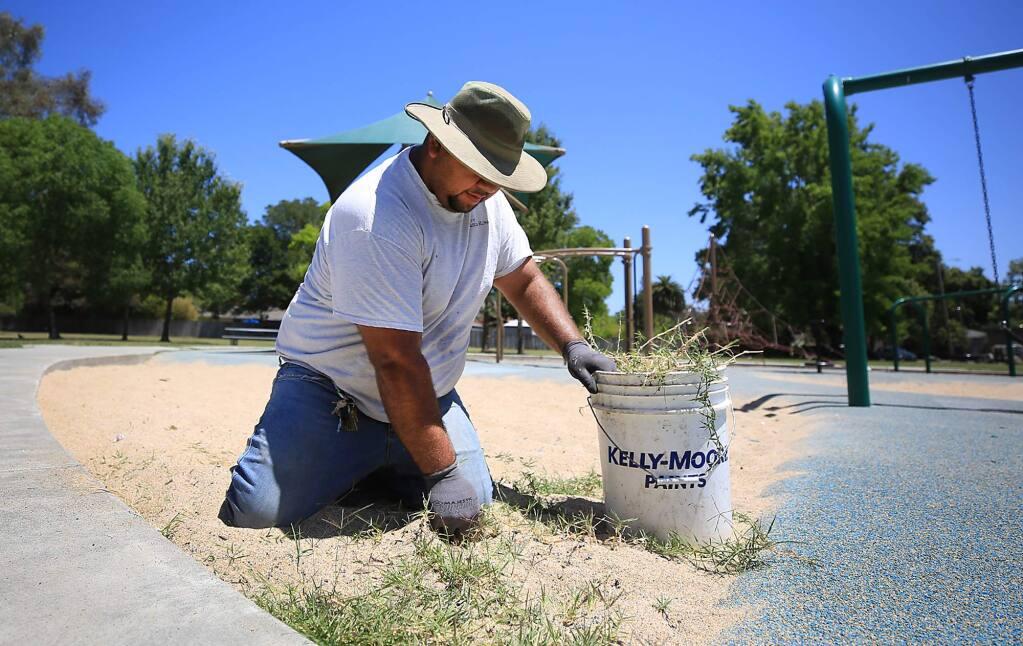 City worker Jose Magana Flores pulls weeds by hand at Steele Lane Park in Santa Rosa, Monday July 17, 2017. (Kent Porter / Press Democrat) 2017