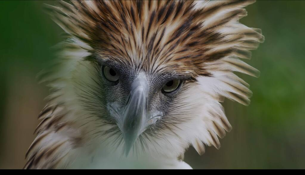 'Bird of Prey' follows the critically endangered Philippine eagle, of which most estimates suggest there are 200-800 left in the wild. (birdofpreymovie.com)
