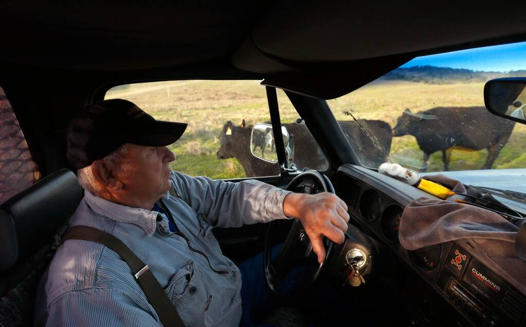 Rich Grossi, 77, carefully drives his truck between his cattle on a bumpy pasture to load up more hay for the herd, at the Historic M Ranch on Point Reyes National Seashore near Inverness, California on Tuesday, November 21, 2017. The Grossi family has farmed on Point Reyes for six generations, since purchasing the ranch in 1939. Now, the future of ranching at Point Reyes National Seashore may be at stake due to land management plans proposed by the National Park Service, portions of which includes reducing or eliminating cattle ranching. (Alvin Jornada / The Press Democrat)