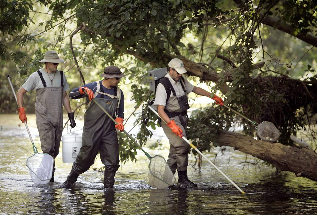 (File photo) Sonoma County Water Agency biologists keep their nets ready for fish stunned by electric current wands during a Dry Creek fish survey. (John Burgess / Press Democrat)