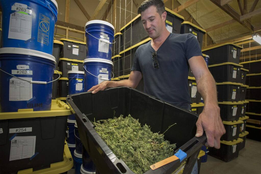 SPARC executive director Erich Pearson evaluates a bin of the harvested 'product,' grown at SPARC's Glen Ellen farm. (Photo by Robbi Pengelly/Index-Tribune)