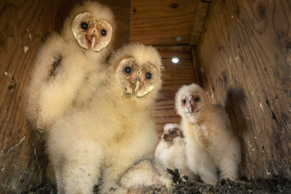Members of the Wildlife Rescue's Barn Owl Management Project introduced a foster owl, second from right, into an established family on a vineyard property in Sonoma County. The owls reduce rodent populations, bringing up to 25 gophers back to the nesting box each night. (photo by John Burgess/The Press Democrat)