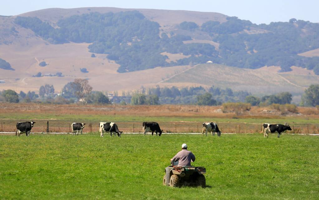 The surrounding vegetation is brown, while the Mulas pastures are green, irrigated by recycled waste water, Monday Sept. 8, 2014 (Kent Porter / Press Democrat) 2014