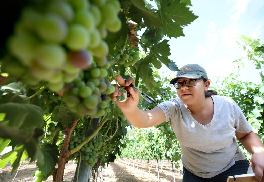 Jasmin Moreno, vineyard maintenance assistant at Francis Ford Coppola Winery, does a cluster count of negroamaro grapes in the early stages of veraison at the winery in Geyserville on Thursday, July 25, 2019. (BETH SCHLANKER/ The Press Democrat)