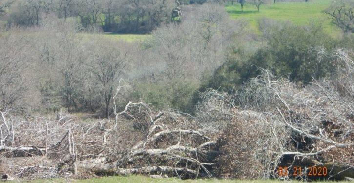 Oaks are already plagued by sudden oak death in our region so there is absolutely no reason for us to be cutting down healthy, mature carbon sequestering trees that perform so many ecosystem-wide essential services. Larry Hansen photo.
