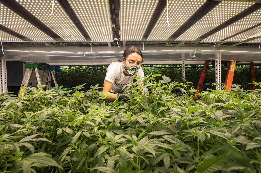 "Melissa Gutierrez takes cuttings from ""mother"" marijuana plants for the production of clones at the Flora Terra Dispensary in Santa Rosa.  Flora Terra has a production facility on the site of their retail store. (photo by John Burgess/The Press Democrat)."