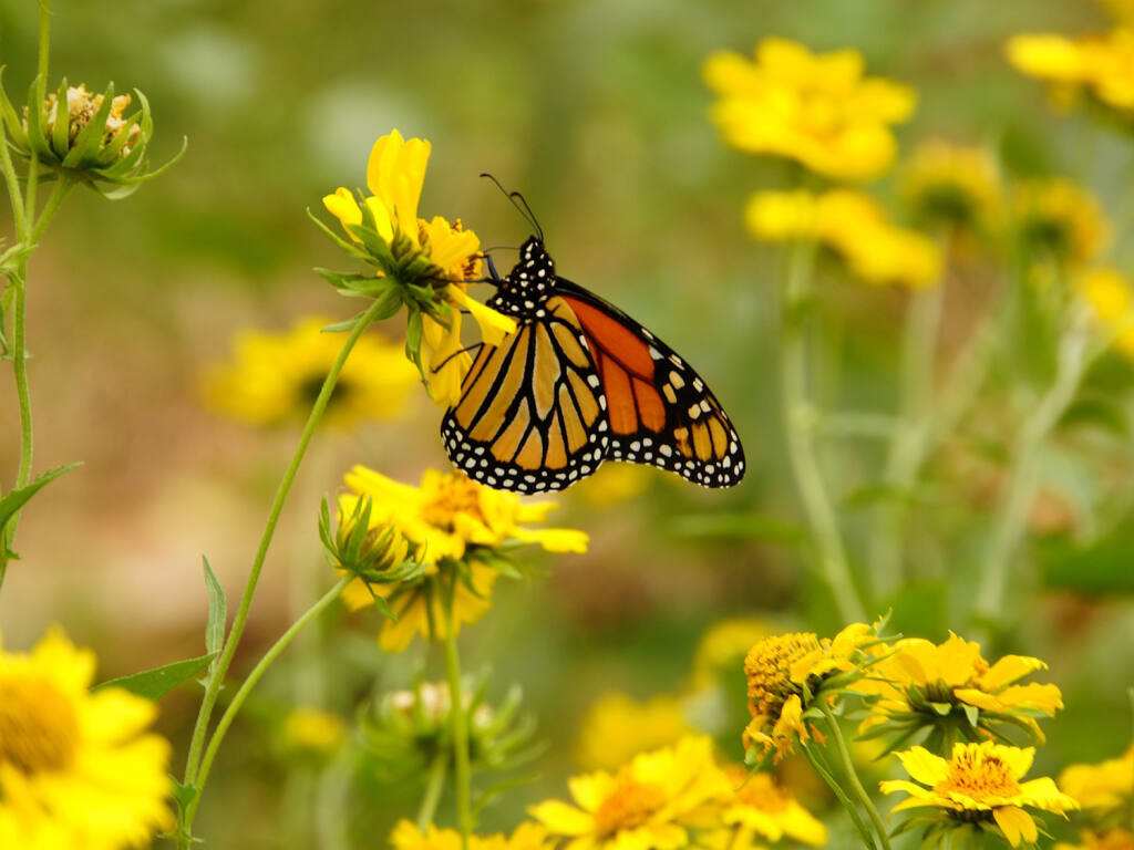 The Monarch Butterfly Habitat Garden rests through May and the wildflowers and perennials are at full bloom in mid-summer. (\ Image by naturepost from Pixabay - Pixabay License Free
