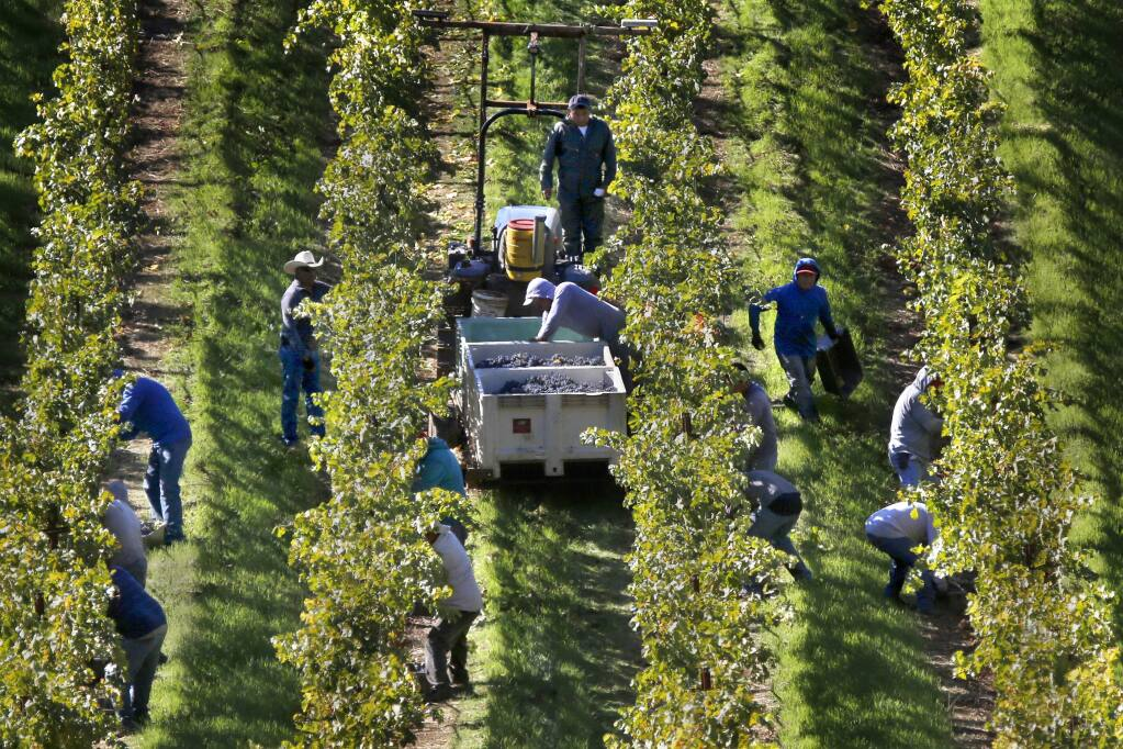 Workers harvest cabernet sauvignon grapes at a Rockpile vineyard managed by Mauritson Farms Inc., in Geyserville, California on (BETH SCHLANKER/The Press Democrat)