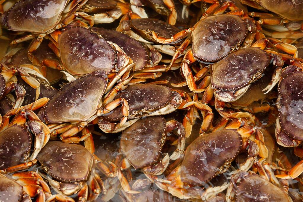 Dungeness crab float at the surface of the water inside the Karen Jeanne's cargo hold before deckhands begin unloading their catch at the Tides Wharf in Bodega Bay on Thursday, Dec. 20, 2018. (Alvin Jornada /The Press Democrat)