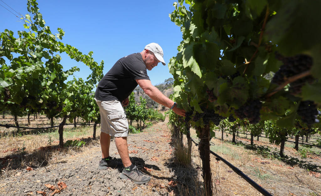 Paradise Ridge Winery co-owner Rene Byck looks at clusters of pinot noir grapes in Santa Rosa on Monday, August 3, 2020.  (Christopher Chung/ The Press Democrat)