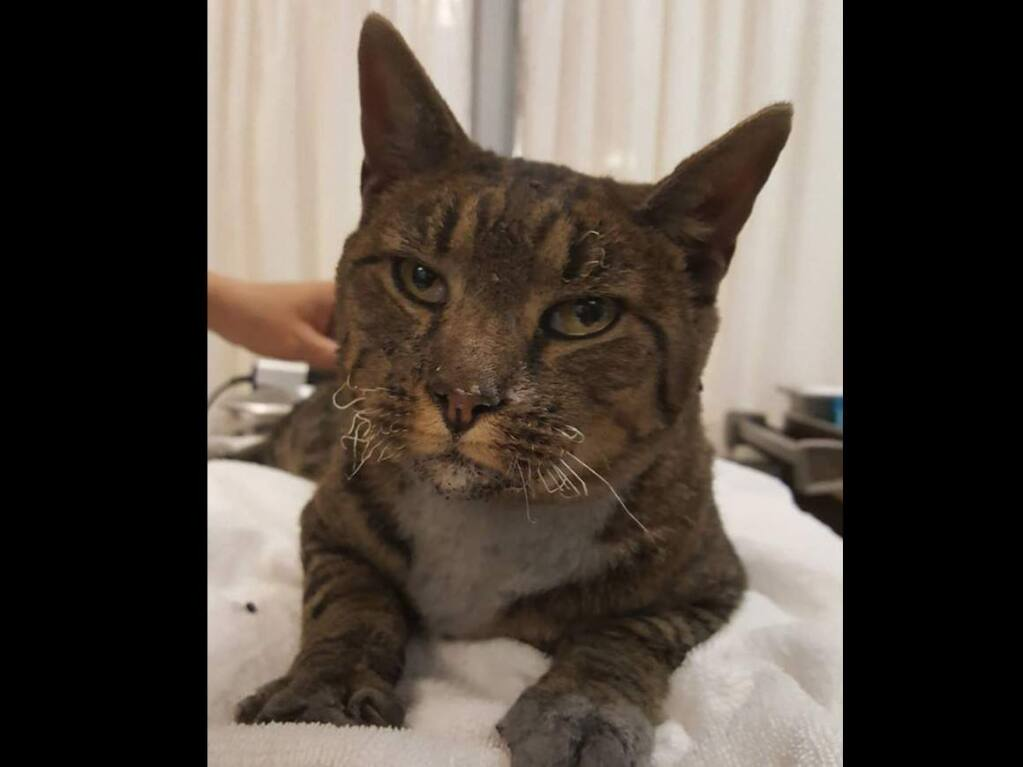 FOUND CAT 10/9/17: Stray Neutered Male Tabby with white chest. No collar. This sweet cat was found under a car in the Sutter Santa Rosa Hospital lot. He is currently safe at Sonoma Humane Society 707-542-0882. (SONOMA HUMANE SOCIETY)