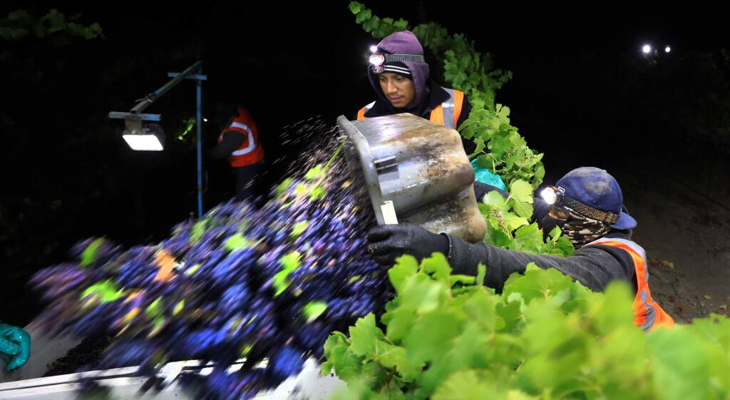 Vineyard workers kicked off the 2018 wine grape harvest Wednesday, August 15, 2018 at the Kiser vineyard in Sonoma. The grapes will be crushed for sparkling wine at Gloria Ferrer in the Sonoma Valley. (Kent Porter / The Press Democrat) 2018