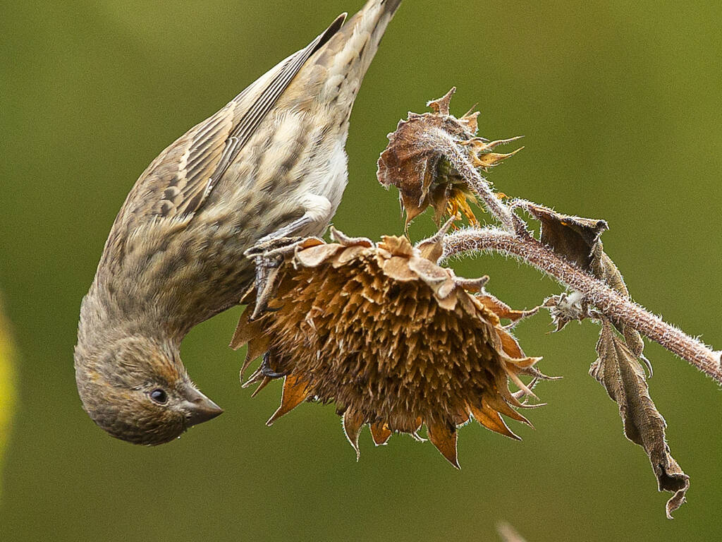 A female house finch slowly bends the sunflower branch as it shifts its weight for a better view of the remaining seeds. (John Burgess / The Press Democrat)