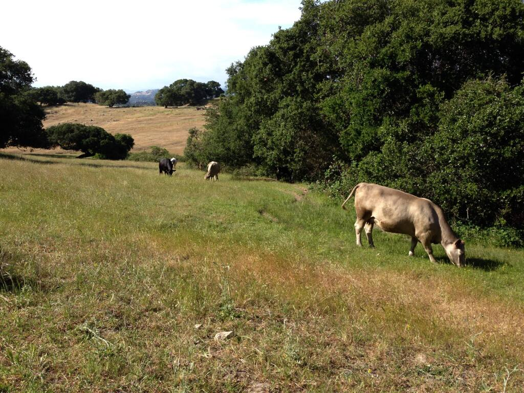 Sonoma County Regional ParksCattle graze at Taylor Mountain in Santa Rosa.