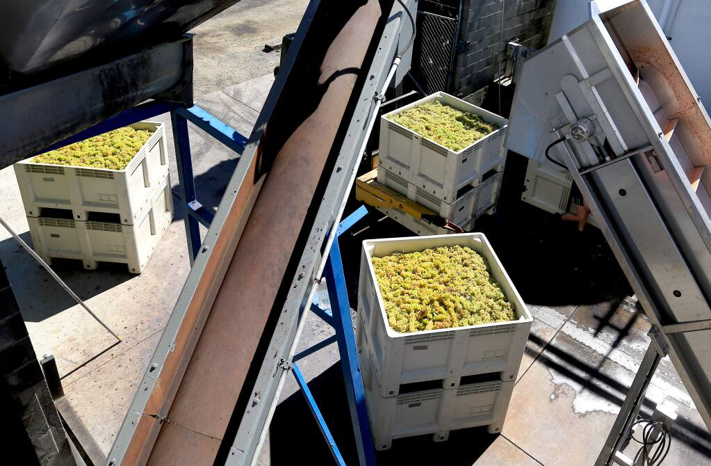 Chardonnay grapes are ready for crush, Wednesday Sept. 17, at Dry Creek Vineyard in Dry Creek. (Kent Porter / Press Democrat) 2014