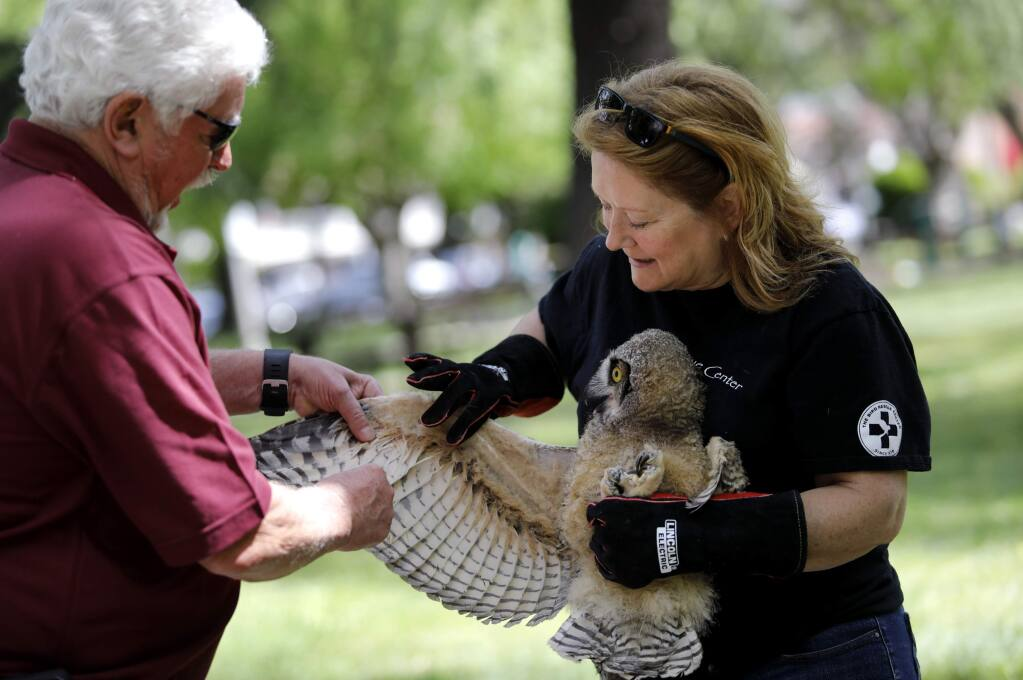 Brad Marsh and Natalie Getsinger, members of the raptor release team from the Bird Rescue Center, prepare to return a baby Great Horned Owl to its tree at the Sonoma Plaza on Thursday, May 10, 2018 in Sonoma, California . (BETH SCHLANKER/The Press Democrat)