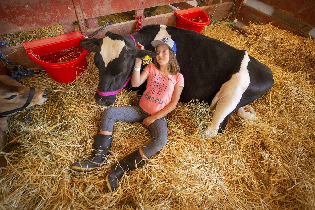 Lucia Nosecchi, 11, rests in the barn with her holstein heifer 'Baby' on the opening day of the 80th annual Sonoma-Marin Fair in Petaluma. (photo by John Burgess/The Press Democrat)