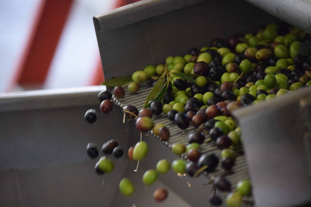 McEvoy Ranch will hold a Community Olive Milling Day on Nov. 12 for small growers.  (James Dunn / North Bay Business Journal)