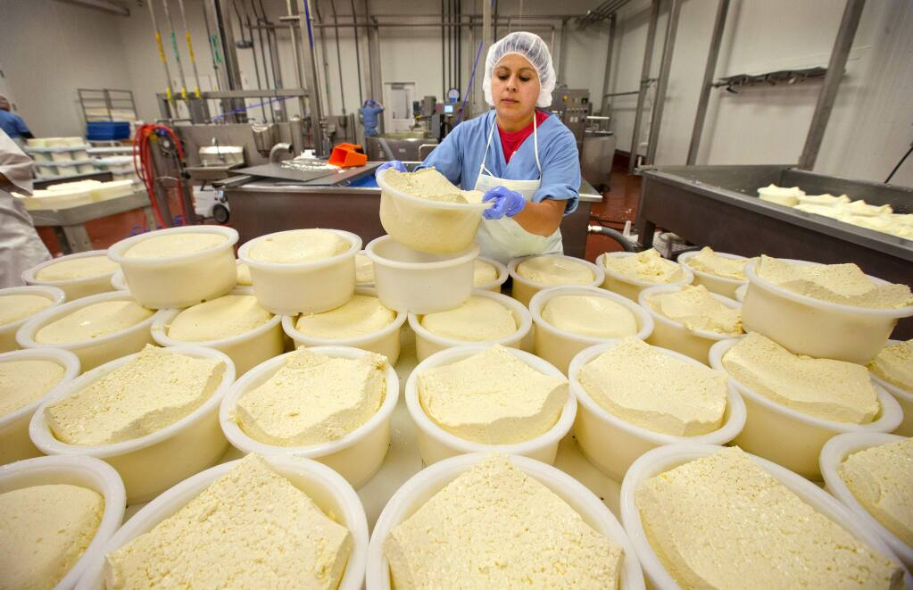Adilene Aleman turns a basket or cheese curds over to form a wheel at the new production facility for Point Reyes Farmstead Cheese in Petaluma. (photo by John Burgess/The Press Democrat)