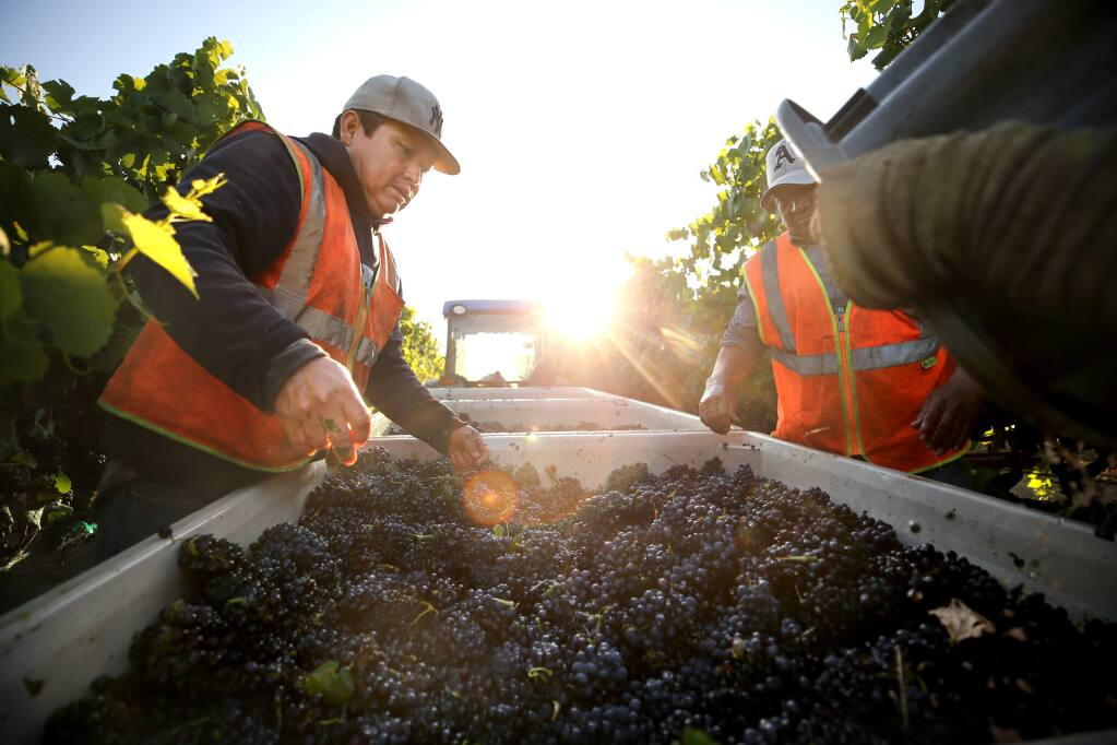 Jesus Garcia, left, and Jose Juarez, right, help to harvest pinot noir grapes in Rodgers Vineyard for Mumm Napa in Yountville, California on Tuesday, August 13, 2019. (BETH SCHLANKER/The Press Democrat)