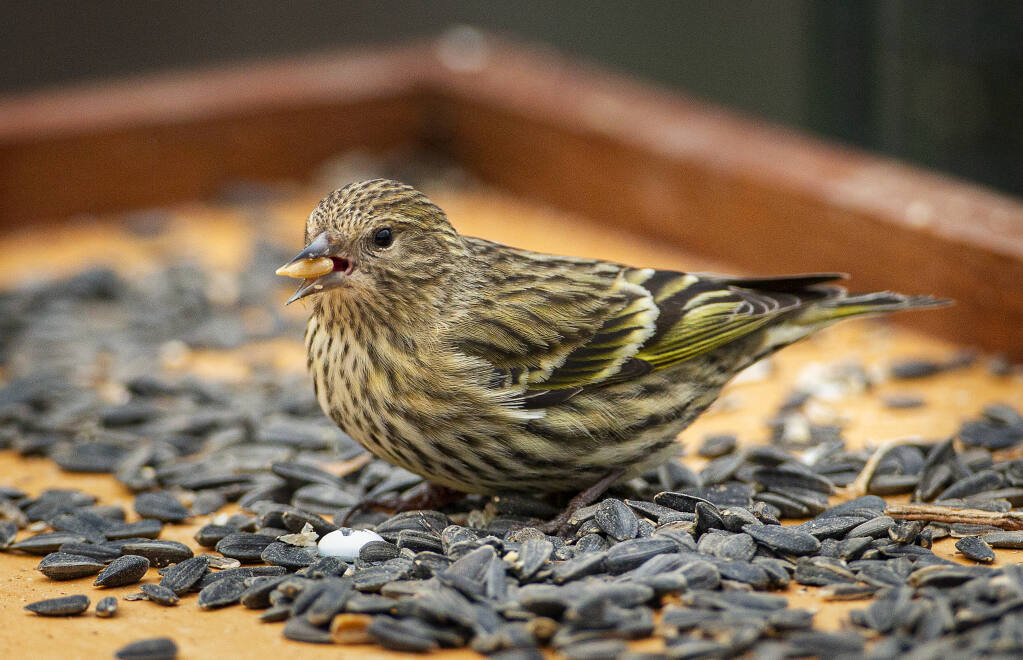 A pine siskin eats black oil sunflower seeds off a feeding tray in the junior college neighborhood of Santa Rosa on Monday, February 8, 2021. Avian experts suggest removing bird feeders and baths after mounting casualties among pine siskins and other finch species due to salmonella spread by birds congregating at feeders.(Photo by John Burgess/The Press Democrat)