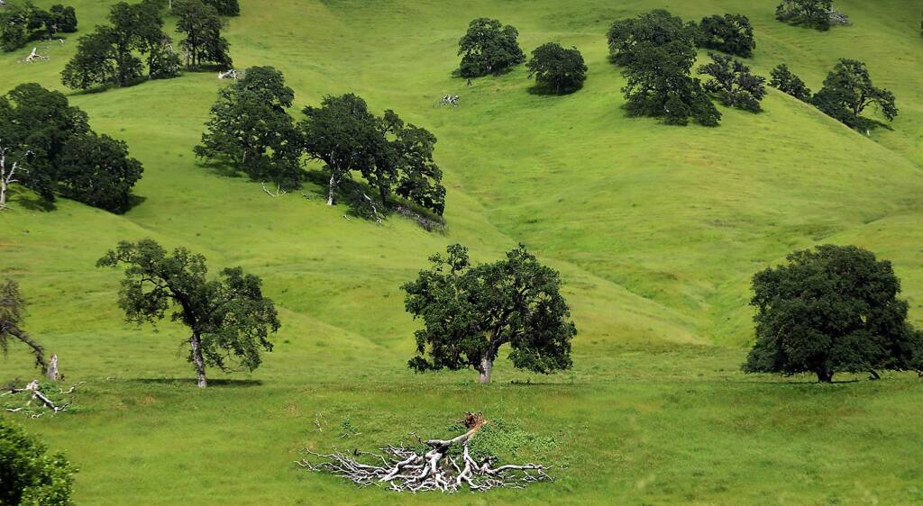 Oak trees in the Berryessa Snow Mountain National Monument on Tuesday, April 25, 2017, in Napa County (Kent Porter / The Press Democrat) 2017