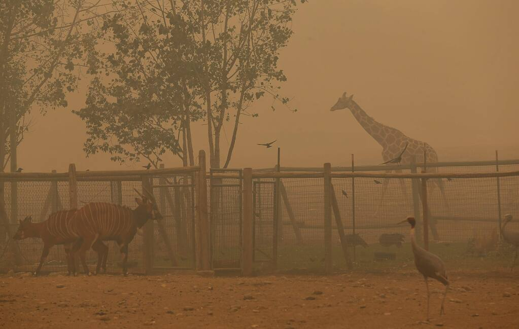 A variety of wildlife walk around in the thick smoke at Safari West, along Porter Creek Road, near Santa Rosa on Tuesday, October 10, 2017. (Christopher Chung/ The Press Democrat)