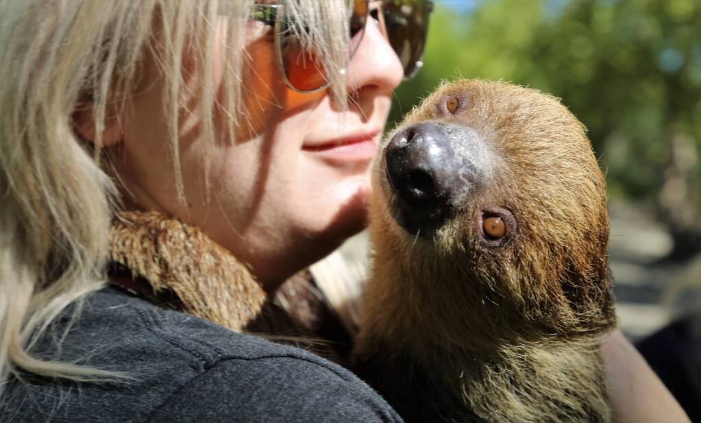 Brandi Blue holds a Three-Toed Sloth during Safari West's 25th anniversary celebration in Santa Rosa, California on Sunday Oct. 7, 2018. (WILL BUCQUOY/ FOR THE PD)