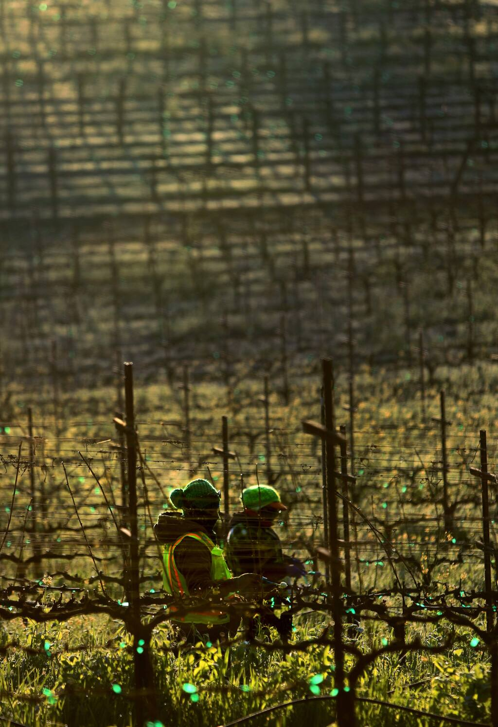 Vineyard workers from Redwood Empire Vineyard Management inc. work in a vineyard along Westside Road in Healdsburg, Tuesday Feb. 20, 2018 bundled up against the cold morning air. (Kent Porter / The Press Democrat) 2018
