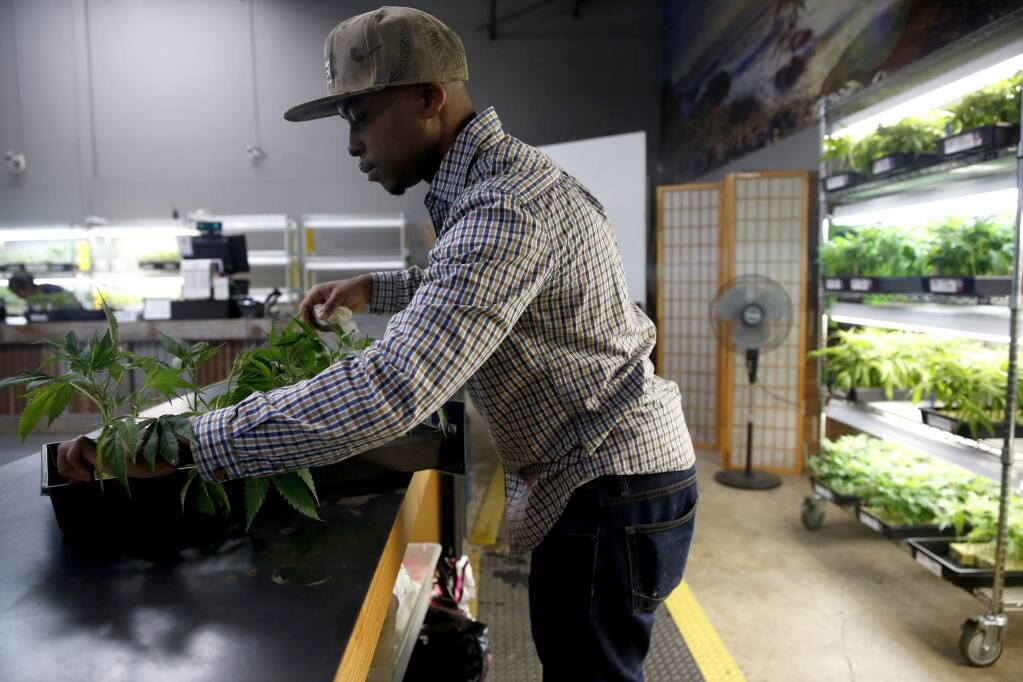 Calvin, an employee who wished not to give his last name, handles marijuana plants for sale at the OrganiCann dispensary in Santa Rosa, on Wednesday, November 9, 2016. (BETH SCHLANKER/ The Press Democrat)