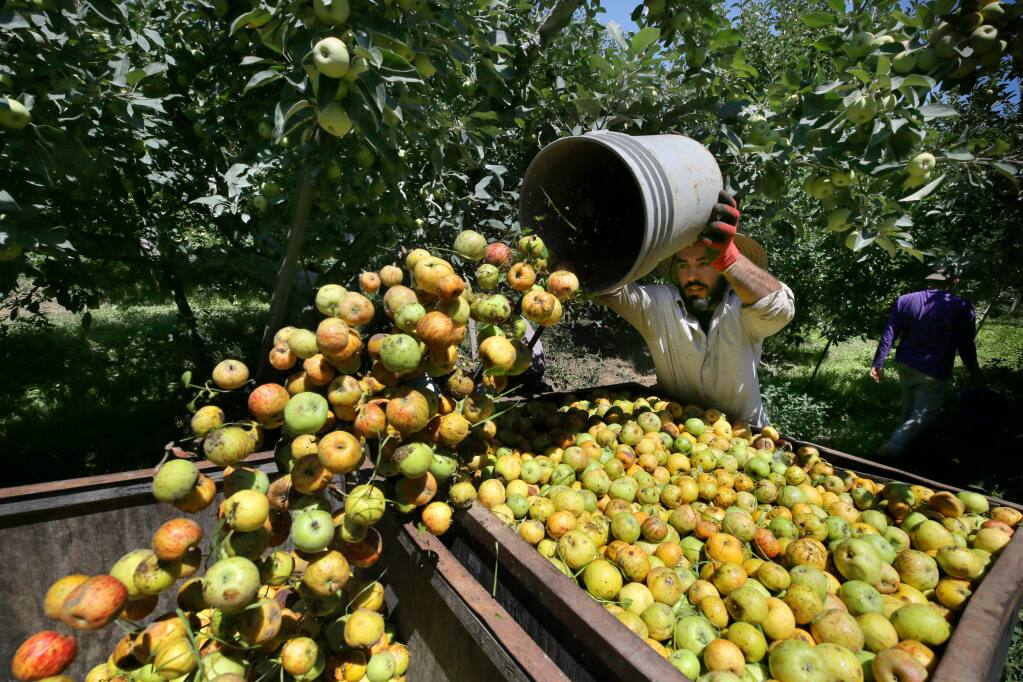 Gerardo de Loza dumps a bucket of Gravenstein apples into a bin as he works with a crew at an orchard in Graton on Tuesday, July 30, 2019. (BETH SCHLANKER/ The Press Democrat)