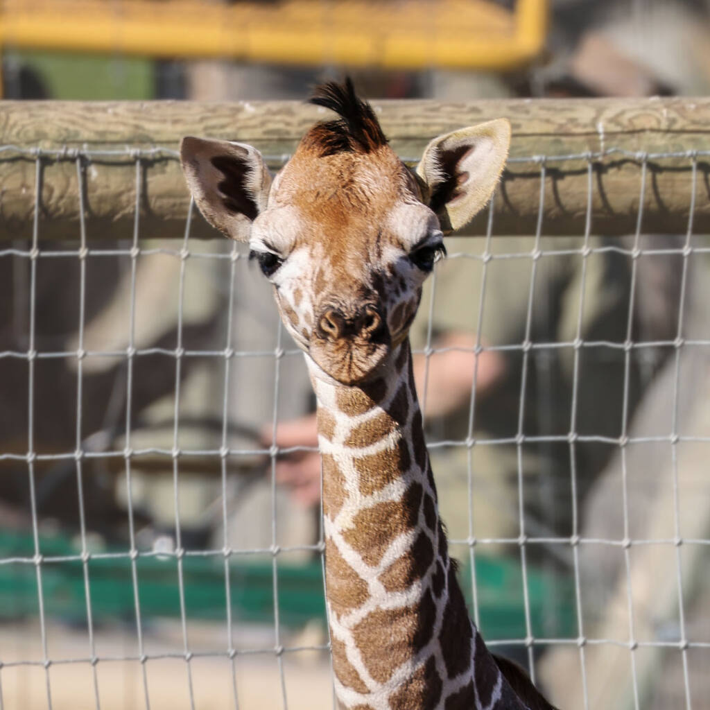 Safari West has a new addition to show off this year — a baby giraffe. (courtesy of Safari West)