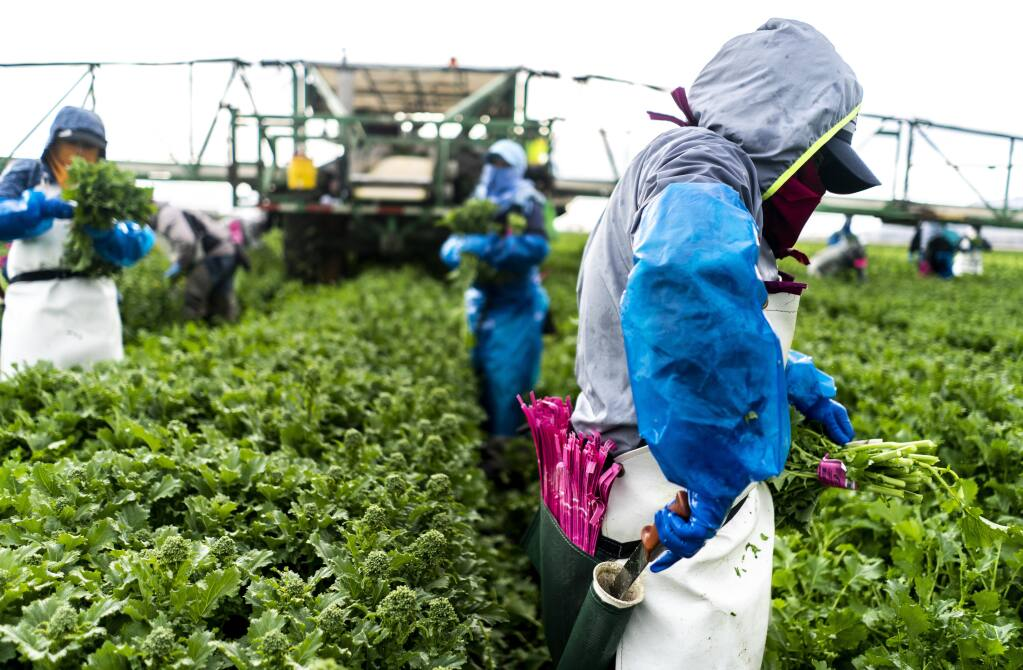 D'Arrigo California workers harvest more than 4,000 acres of broccoli rabe annually. (Washington Post photo by Melina Mara)