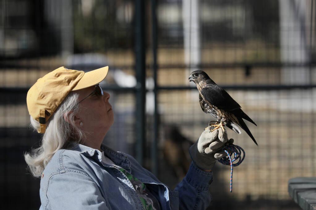 Volunteer Mary Ellen King holds a merlin falcon named Esme at the Bird Rescue Center in Santa Rosa on Thursday, Oct. 29, 2020.  (Beth Schlanker / The Press Democrat)