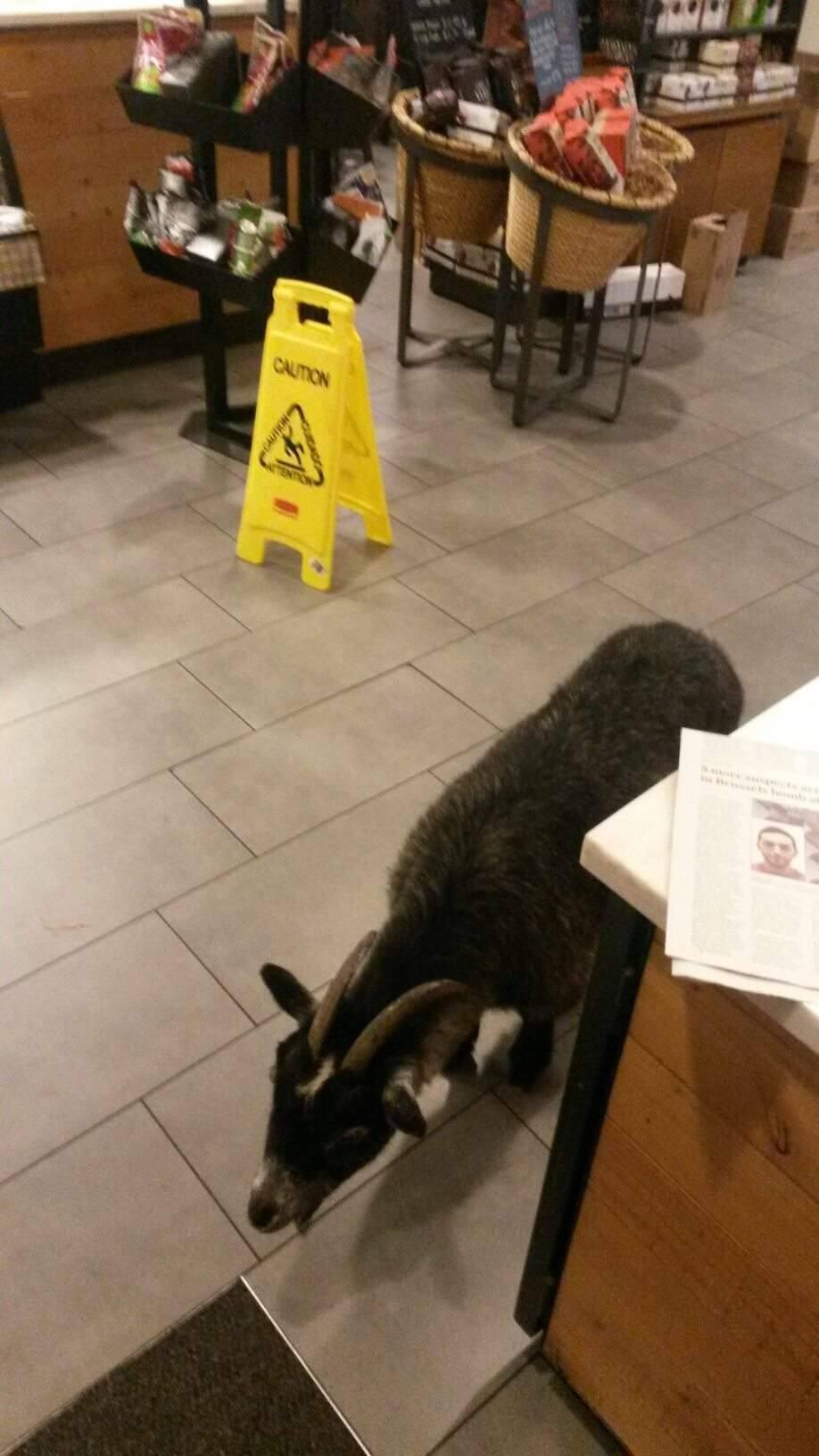 Milly the goat at Rohnert Park Starbucks. (Sgt. Rick Bates, Rohnert Park police)
