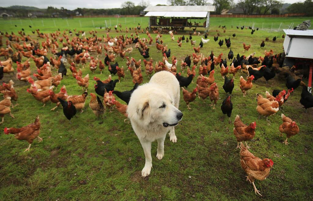 Wise Acre Farm Great Pyrenees Buddy, watches over the flock off Arata Lane in Windsor, Friday March 3, 2016. The egg stand is the vicinity of acreage carved out of future development plans two decades ago by Windsor voters in their approval of an urban growth boundary around the town. (Kent Porter / Press Democrat) 2016