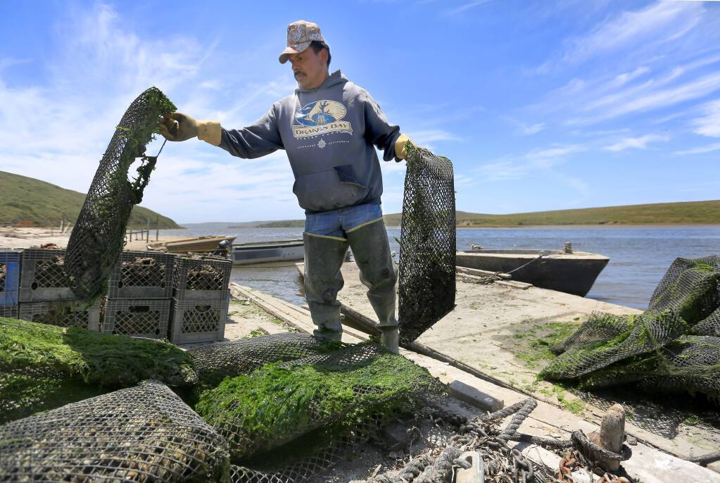Drakes Bay Oyster Company worker Sebastian Lopez-Castillo unloads oysters, Monday June 30, 2014 at Point Reyes National Seashore. The U.S. Supreme Court denied to hear the oyster company's appeal to stay open. (Kent Porter / Press Democrat) 2014
