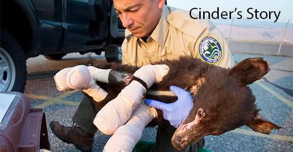Cinder (IDAHO BLACK BEAR REHAB)