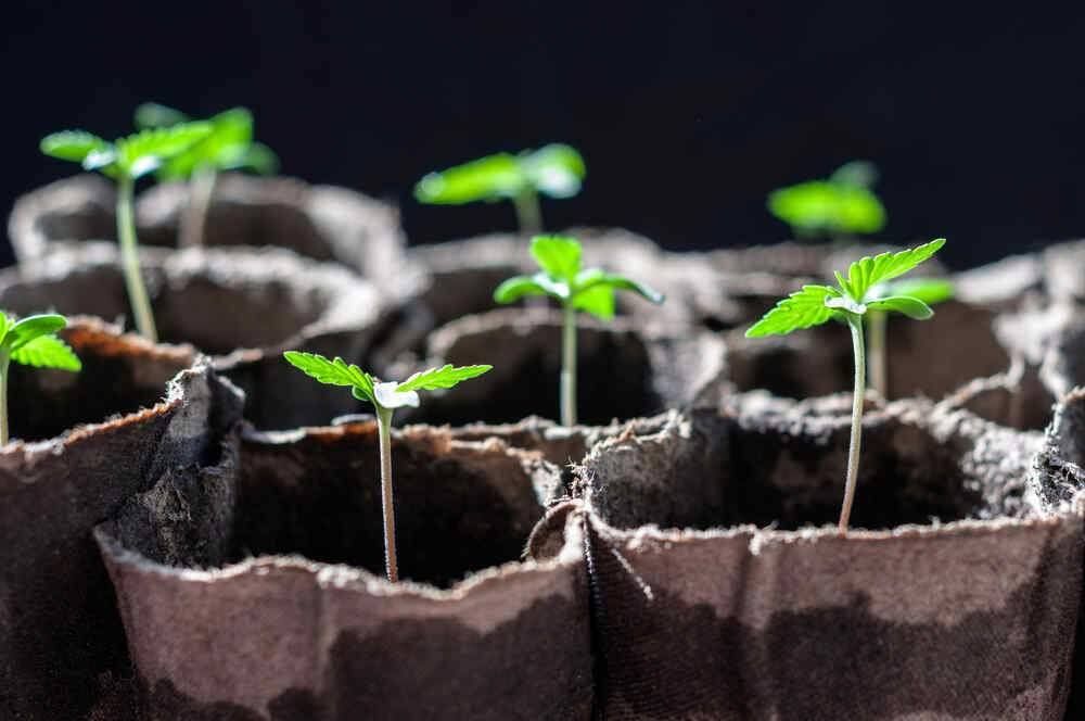 Indoor cultivation of up to six cannabis plants is allowed in Sonoma, however there must be no 'exterior evidence' of the budding buds from the outside.