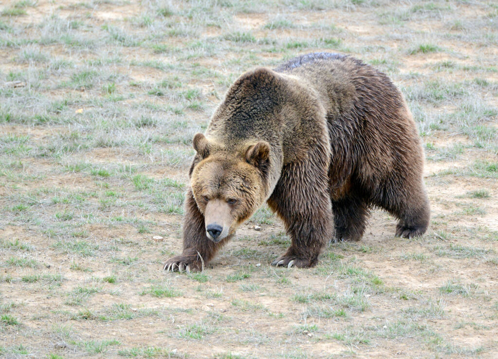 Grizzlies bears used to run and frolic throughout the meadows near Austin Creek. Stock photo.