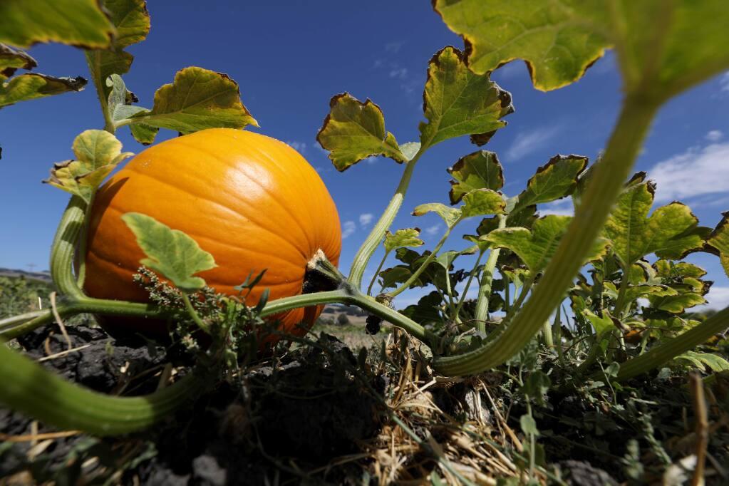 A pumpkin grows on the vine at Pronzini Pumpkin Patch in Petaluma, California on Sunday, September 22, 2019. Pronzini Pumpkin Patch will open on Saturday, September 28, 2019.(BETH SCHLANKER/The Press Democrat)